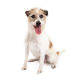 Heartland Pets Jack Russel Terrier