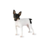 Heartland Pets Toy Fox Terrier