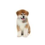 Heartland Pets Akita