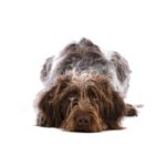 Heartland Pets German Wirehaired Pointer