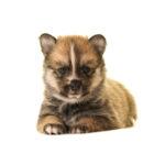 Heartland Pets Pomsky