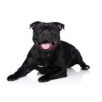 Heartland Pets Staffordshire Bull Terrier